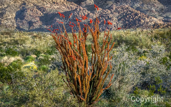 The Red Ocotillo