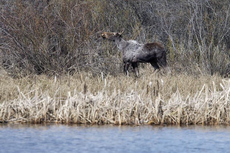 Spring moose