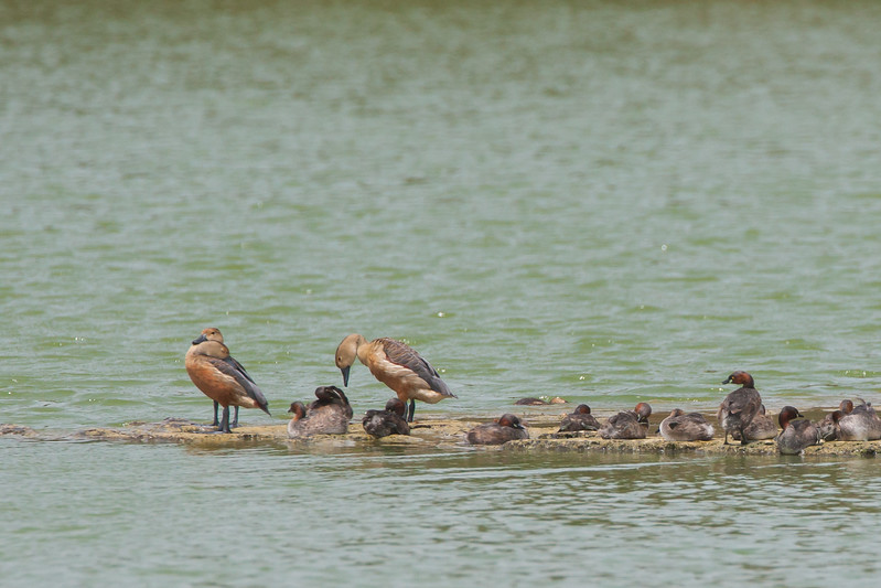 Lesser Whistling Ducks and Little Grebes - Kutch, Gujrat, India