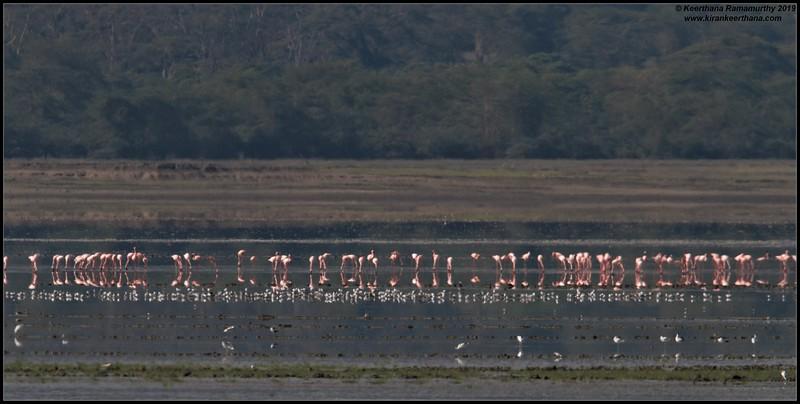 Pink Flamingoes, Ngorongoro Crater, Ngorongoro Conservation Area, Tanzania, November 2019