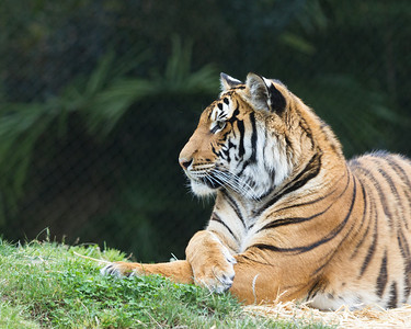 Malayan and Sumatran Tigers - June 2014
