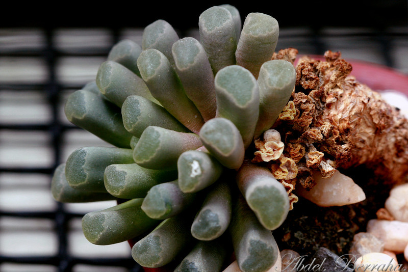 FRITHIA PULCHRA Baby Toes, Fairy Elephant's Feet 