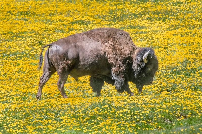 Yellowstone_Bison-20.jpg