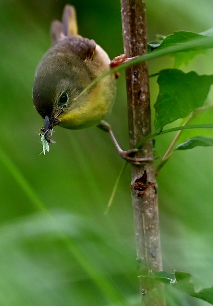 Common Yellowthroat (Geothlypis trychas) female with food for nearby nest.  Wesleyville East Marsh in deciduous wooded swamp area. , in Area 1 (Photo by Gerry McKenna)