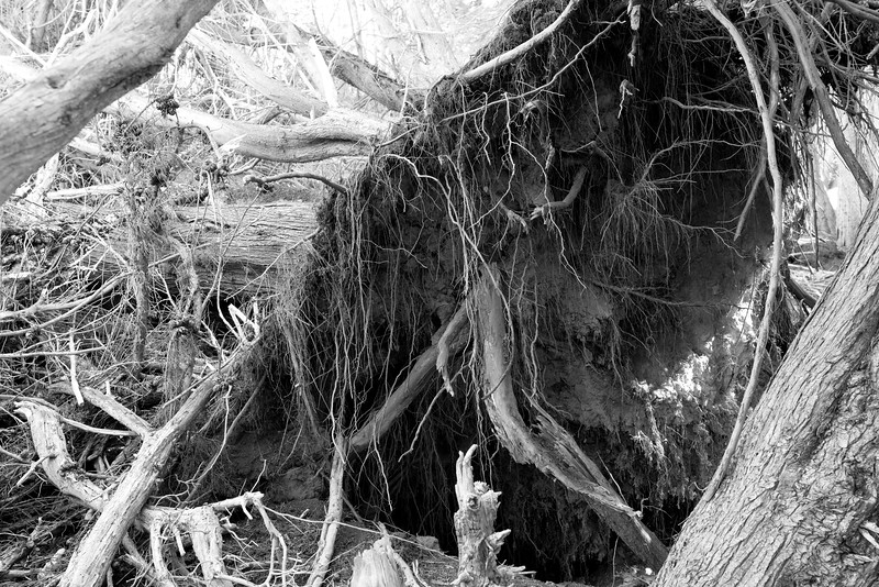 Uprooted _ bw