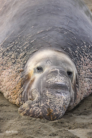 Piedras Blancas Elephant Seal Rookery  12/6/2015
