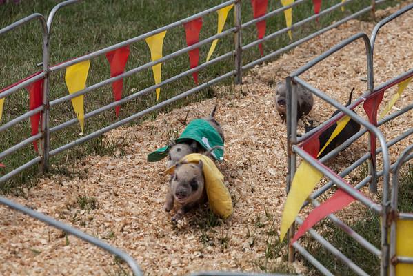 Pig-Races