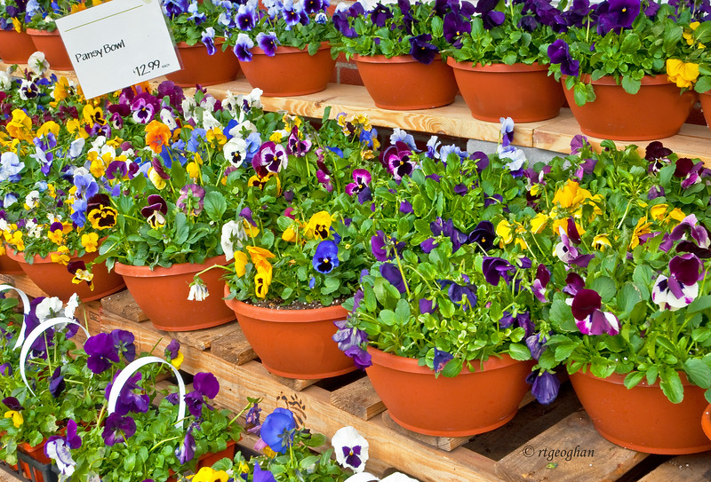 Signs of Spring - Pansies for Sale April 2011