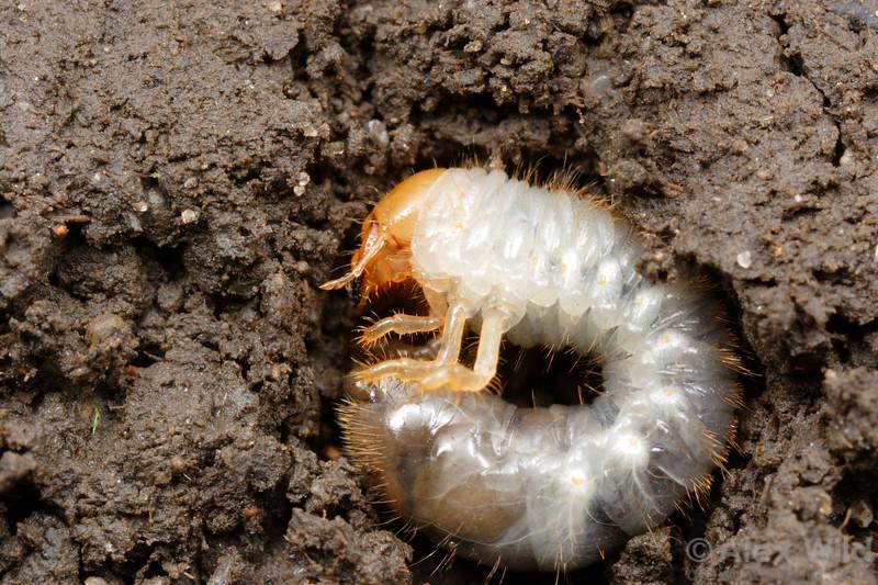 Scarab larva