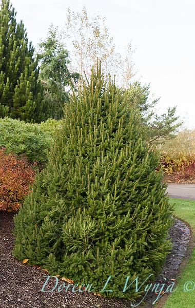 Picea abies 'Sherwood Compact'_7369.jpg