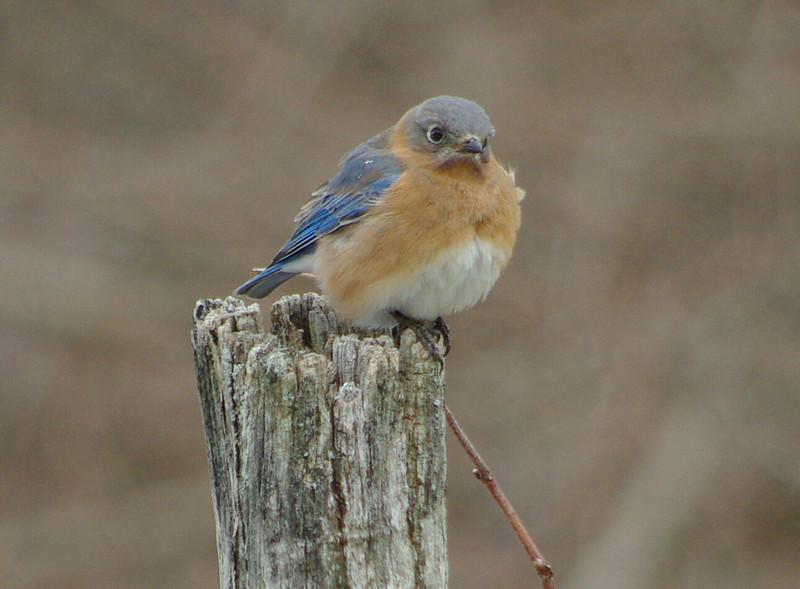 female bluebird