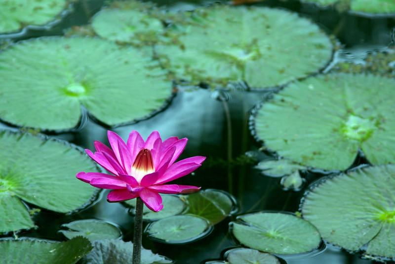 McKee Botanical Garden lotus blur.jpg