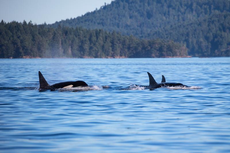 Orcas -  073115-572.jpg