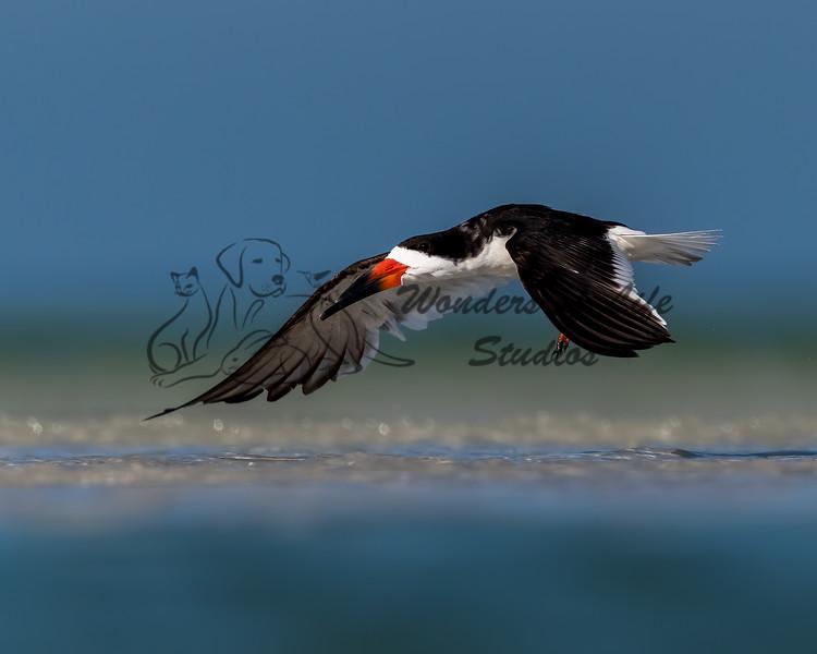 Florida: Shorebirds