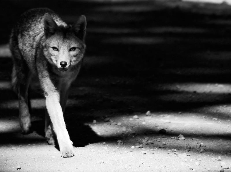 Gray Fox Lanin.jpg