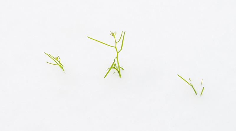 2021-02-15 Lufkin Grass in Snow_DSC0963.jpg