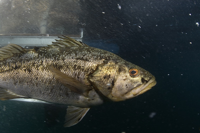 mike bartick calico bass anacapa, near the boat canon xti, sigma 15mm lens, dual strobes