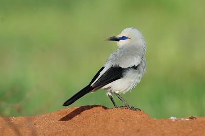 ENDEMIC BIRDS OF ETHIOPIA and ERITREA / ENDEMISCHE VÖGEL  -  ÄTHIOPIEN und ERITREA
