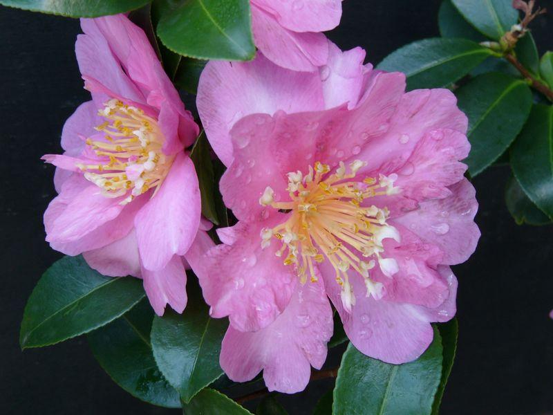 24Apr2005_883_Camellia. Photograph taken by David Fong with DMC-FZ10