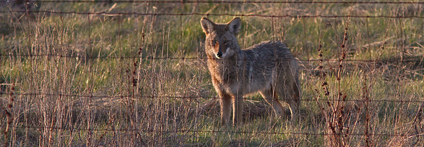 coyotefence1600.jpg