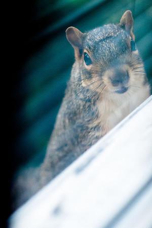 Hessler Squirrel