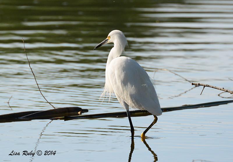 Snowy Egret - 11/16/2014 - Lindo Lakes