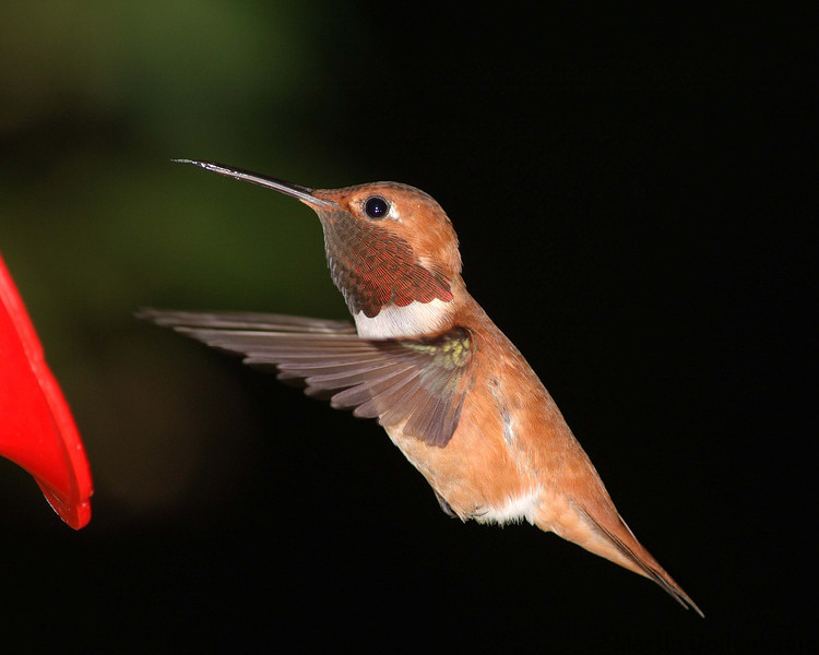 This is the new Male rufous.