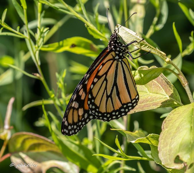 monarch 080319.jpg
