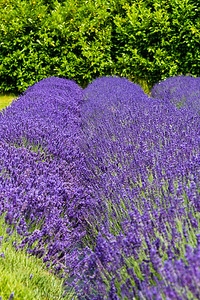 Evergreen Valley Lavender Farm July 2014