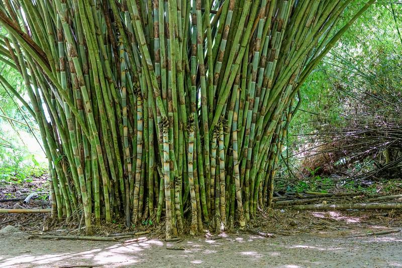 Bamboo, Lancetilla Botanical Gardens, Tela Honduras