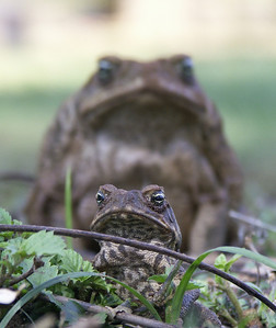 This is probably the first good photo of animals in the wild. Taken in Scott Creek, Australia during my stay there. I heard that they had plenty of Cane toads in the area and that they were a pest. Since I worked mostly with gardening I came across quite a bunch of them. I was fortunate with this picture since I found the big toad in the background first. Realising that the hole he came out from was inhabited by several small toads I had to wait until some of them were in line with the big one to show the contrast of sizes.  If I could change something in the picture I probably would think about removing the stick in front of the little toad. Unfortunately you don't have that much time working with untamed animals, even though they sit quite still unless you tease them.