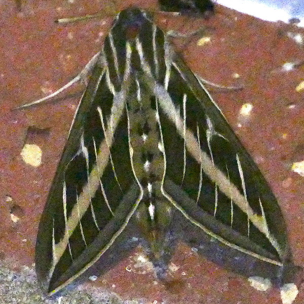 H07894  P180HylesLineataWh-linedSph926 May 16, 2019  6:34 a.m.  P1800926 This White-lined Sphinx, Hyles lineata, was an entry lights at 2601.  Apparently, it was photographed in pretty  low light, judging from grainy appearance.  Sphingid.