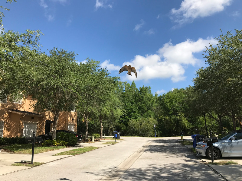 11_14_18 Hawk soaring overhead.jpg