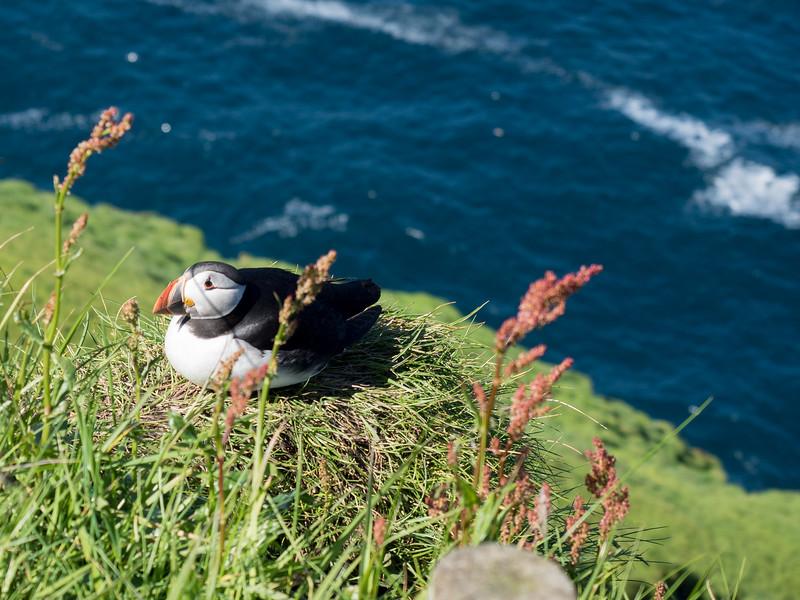 Nesting puffin