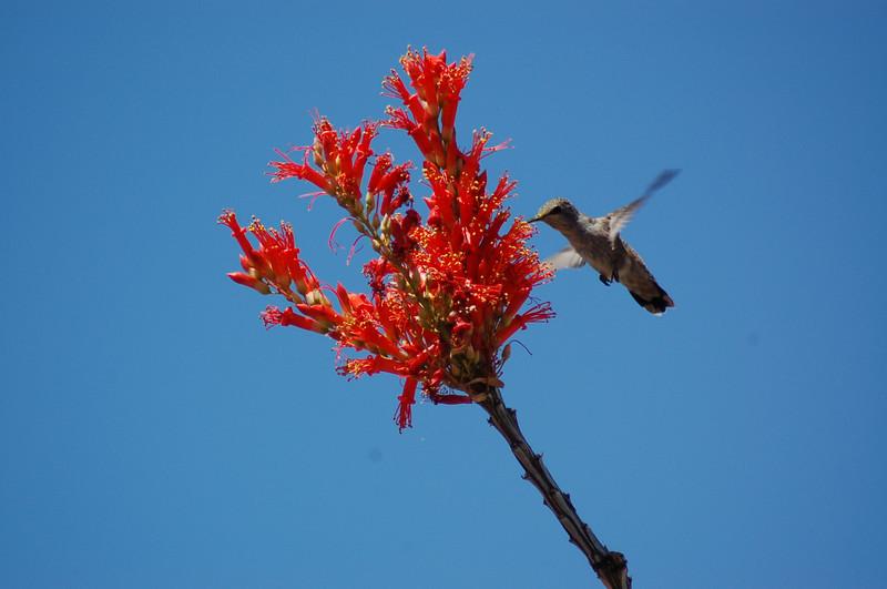 20130425_Hummingbird_006.JPG