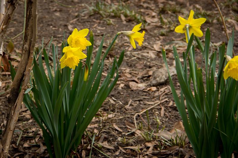 Central Park Daffodill-2817.jpg