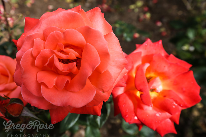 Rose- Taihape Sunset