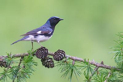 Black-throated Blue Warbler, Dendroica caerulescens