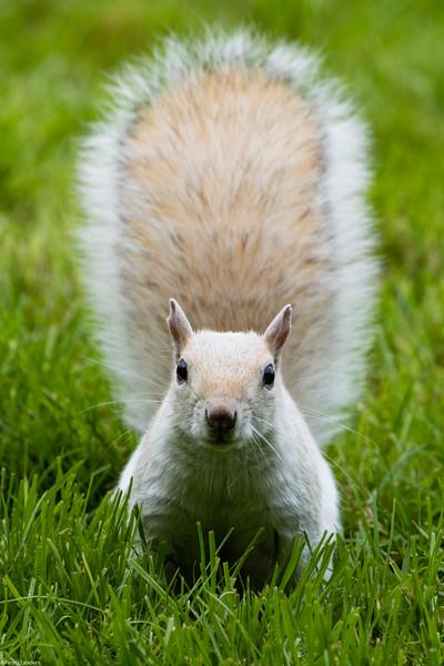 """White """"Grey Squirrel"""""""