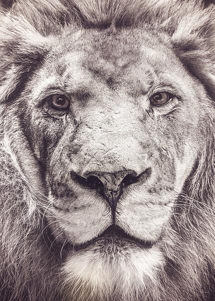 w5x7 Portrait of a Panthera Leo.jpg