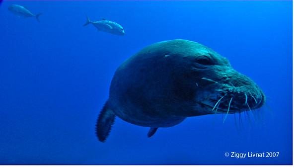 Monk Seal kiss1.jpg
