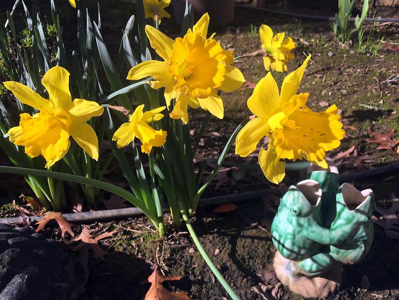 sunny daffodils.jpg