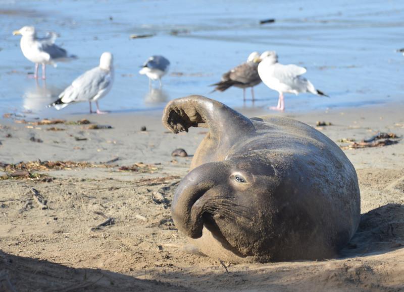 ano-nuevo-elephant-seals-2013 28.jpg