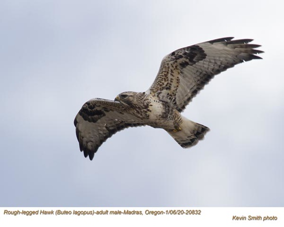 Rough-Legged Hawk A20832.jpg