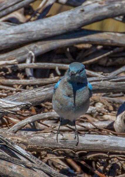 Kolob Terrace Road Mountain Bluebird