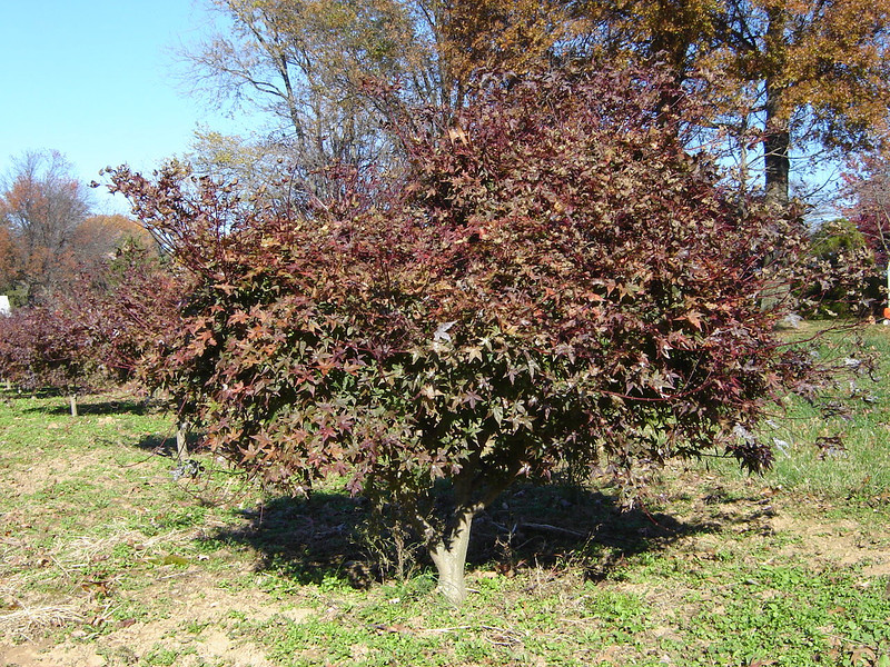 Acer palmatum 'Shindesojo'   Dwarf Japanese Maple  Matures at 10'