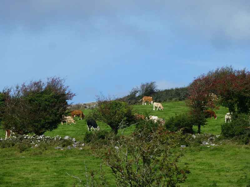 Corcomroe Abbey neighbors-mixed herd.jpg