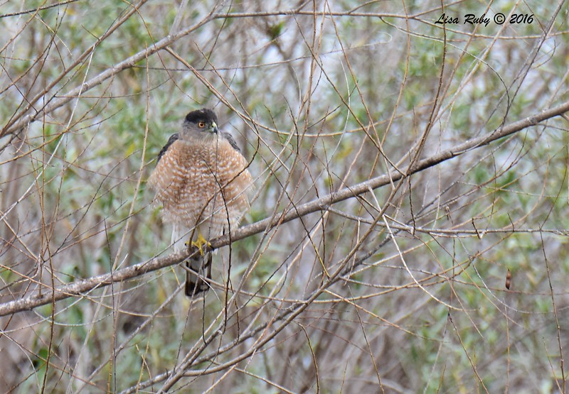 Cooper's Hawk  - 1/3/2017 - Bernardo Bay Trail, Lake Hodges