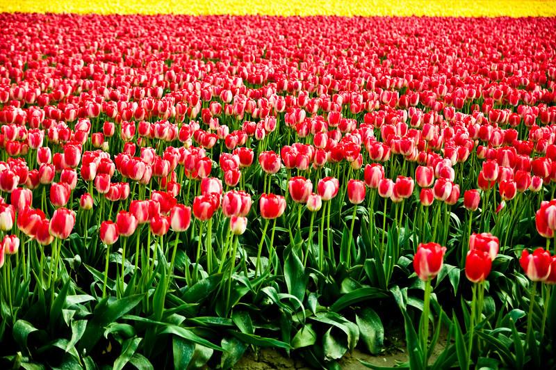 TulipFestival-55.jpg