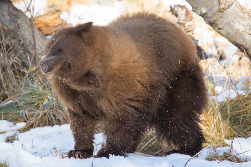Tahoe Bear Fall 2020-13.jpg